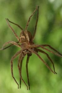 spiders jacksonville